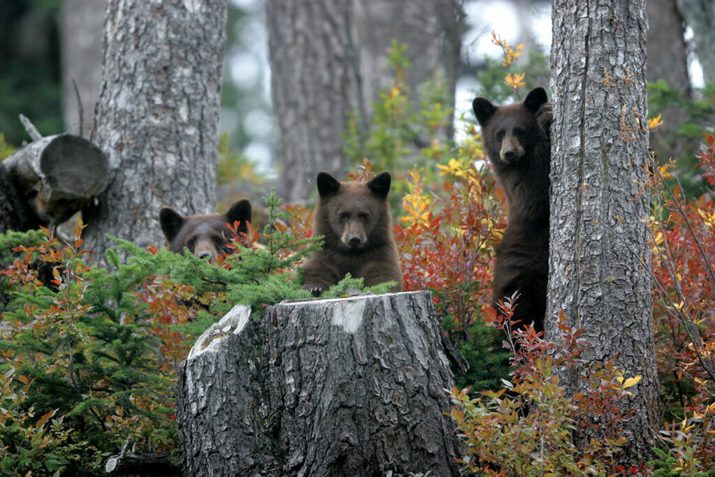 Three young bears looking though fall foliage in Whistler.