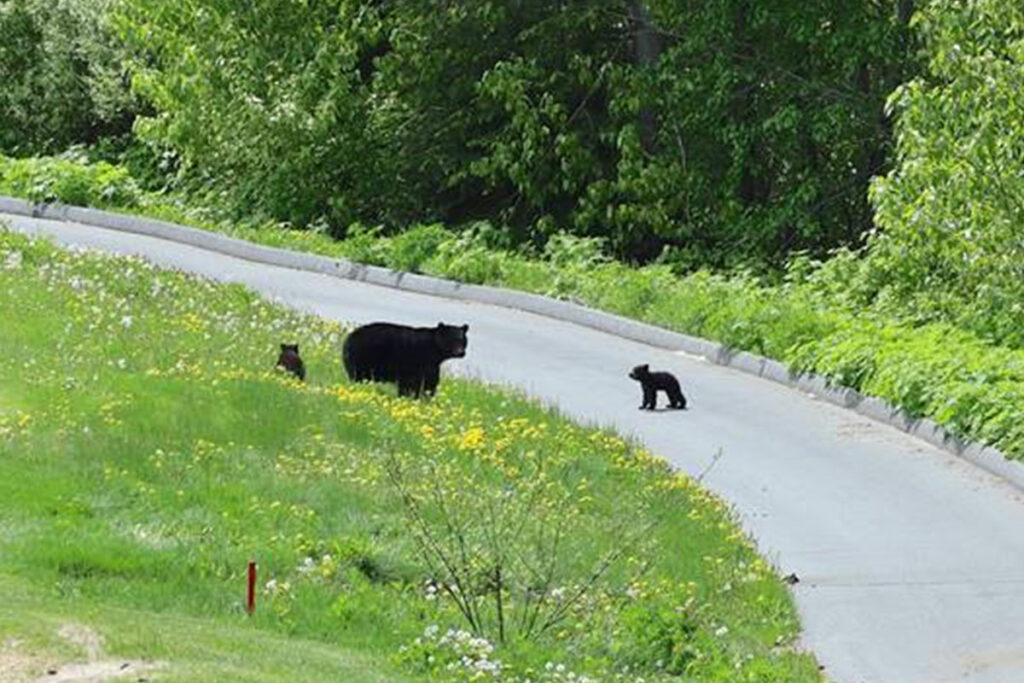 Mother bear and two babies in Whistler