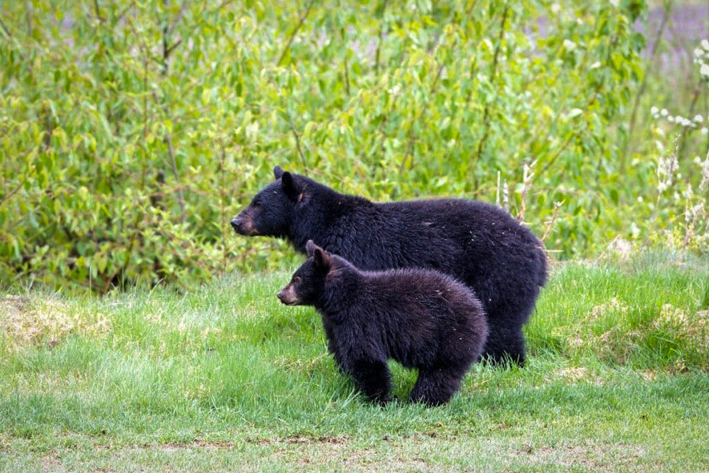 Mother bear and her yearling in Whistler B.C.