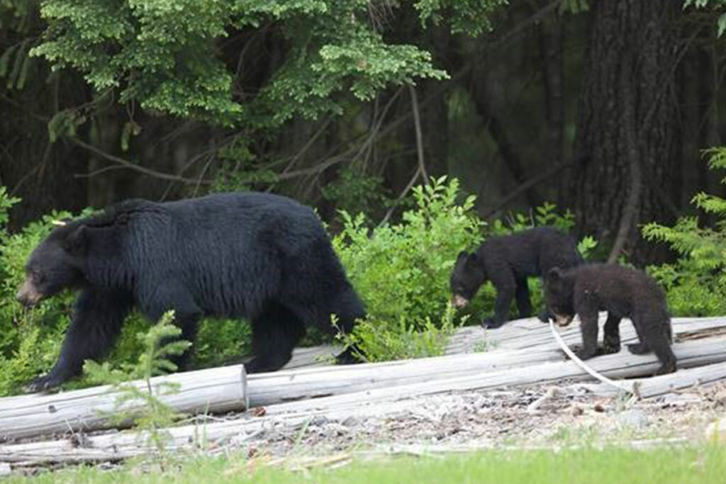 Mother bear and her two cubs in the forests of Whistler B.C.